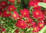 Lipstick Red Petals