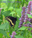 Hyssop and Swallowtail