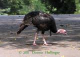Turkey Feeding near Spectacle Pond