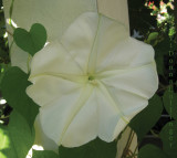 Cathy's First Moonflower