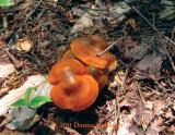 Orange Mushrooms at the Beaver Pond