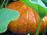 Orange Pumpkin in the Upper Garden
