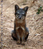 Sub-Species Santa Cruz Island Fox