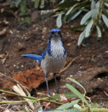 Endemic Species of Island Scrub Jay