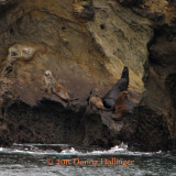 Sea Lions Sunning on a Island