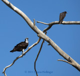 Osprey and a Falcon - Same Tree!