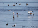 Stilt and an Avocet, Gulls and Pelicans