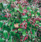 Summer Holly with Berries