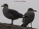 950.2.califor.gulls.018.jpg