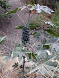 Huge Ricin Communis L. plant
