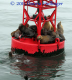 Sea Lions on Lane Marker