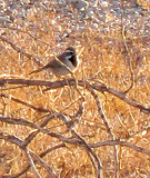 Black throated Sparrow