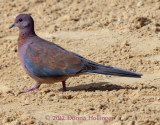 Laughing Dove Visiting Us