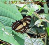 Vitorina Elisa Butterfly