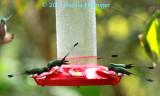 5 Booted Racket-Tails (Ocreatus underwoodii)  Hummingbirds
