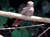 Female Ladder -Tailed Nightjar