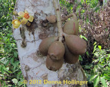 Cauliflorous  (Inedible) Mango and Flower