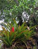 Bromeliads as big as Trees