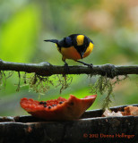 Black-Chinned Mountain-Tanager