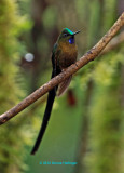 Violet -Tailed Sylph