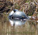 Turtles on Eccopond