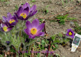 Pasque Flowers in my garden