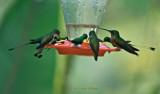 Hummingbirds:  Full House on the Feeder