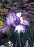 Edged Iris, Before the Storm