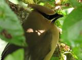 Cedar Waxwing on the Mulberry Tree