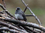 Salte Junco on the Burn Pile