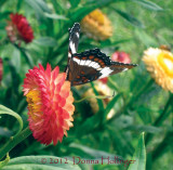 Strawflower and Limentis Arthemis