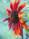 Red Sunflower in the Upper Garden