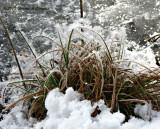 Cattail Ice