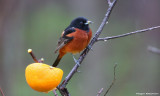 Orchard Oriole - male