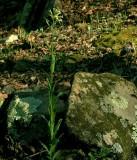 Boechera missouriensis