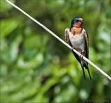 Barn Swallow, (Hirundo rustica)