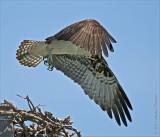 Osprey wings