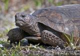 Florida tortoise
