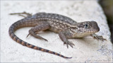 gecko in Florida