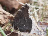 Sorgmantel - Nymphalis antiopa - Camberwell beauty  or Mourning Cloak