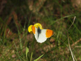Snabb och orolig. Jag har sällan lyckats få någon bild på aurorafjärilen.