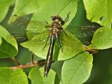 Guldtrollslända - Cordulia aenea - Downy Emerald