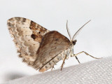 Backfältmätare - Xanthorrhoe montanata - Silver Ground Carpet