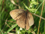 Slåttergräsfjäril - Maniola jurtina - Meadow Brown