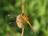 Gulfläckad ängstrollslända - Sympetrum flaveolum - Yellow-winged Darter