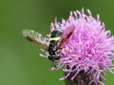 Tvåbandad getingfluga - Chrysotoxum bicinctum