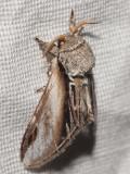 Pilporslinsvinge - Pheosia tremula - Swallow Prominent