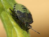 Grön bärfis - Palomena prasina - Green shield bug