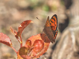 Mindre guldvinge - Lycaena phlaeas - Small Copper