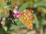 Prydlig pärlemorfjäril - Boloria euphrosyne - Pearl-bordered Fritillary